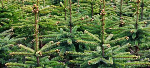 Christmas Tree Types.Buying A Christmas Tree In Birmingham Hall S Garden