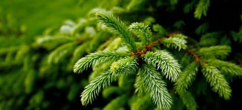 Christmas Trees Birmingham